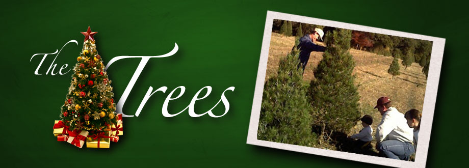 the trees cut your own christmas trees at our live christmas tree farm near the dallas fort worth and waco areas